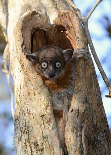 Zombitse Sportive Lemur or Hubbard's Sportive Lemur