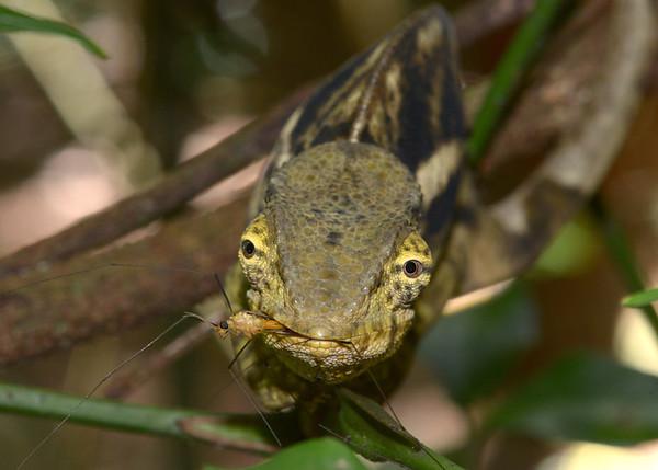 Calumma Ambreense (Chameleon)