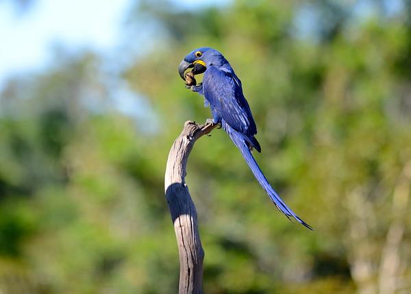 Hyacinth Macaw ( Anodorhynchus hyacinthinus )