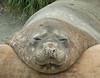 Shingle Cove. South Orkney: Elephant Seal.