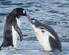Gentoo penguin feeding her chick