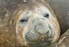 Shingle Cove. South Orkney. Elephant Seal