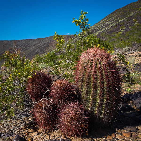 Barrel Cactii west of Agua Caliente