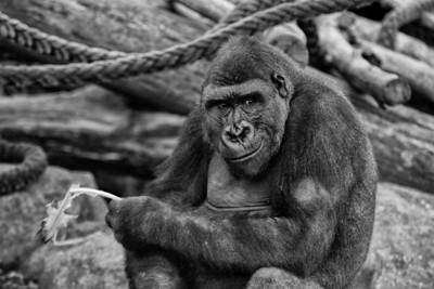 Cheeky Gorilla