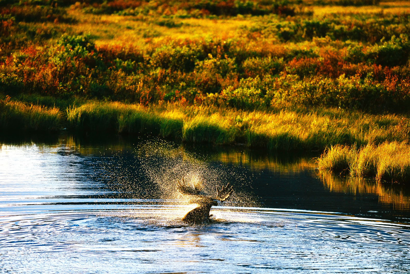 A bull moose swims across a small pond in autumn. As he shakes his head he sends hundreds of water drops flying. Photo taken near the Snake River, Yukon Territory, Canada.