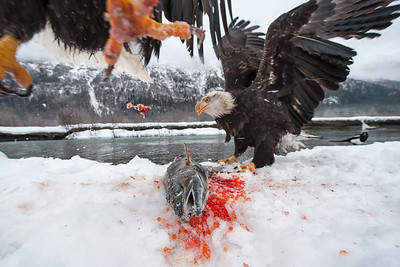 Two eagles fighting over a freshly caught salmon on the Chilkat River in December.