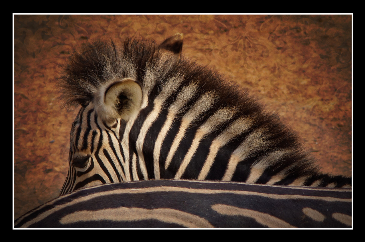 Three day old baby Zebra, Malawi at the Canberra National Zoo and Aquarium (he was busy hiding behind his mother).