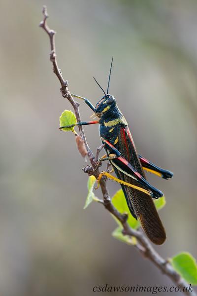 Galapagos Painted Locust