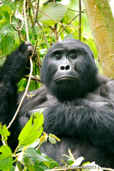 Gorilla - Businghe Group