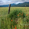 Poppies on the Ranch