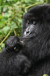 A mother and baby gorilla in Volcanoes National Park, Rwanda