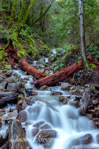 Fallen Redwood Over Uvas Creek