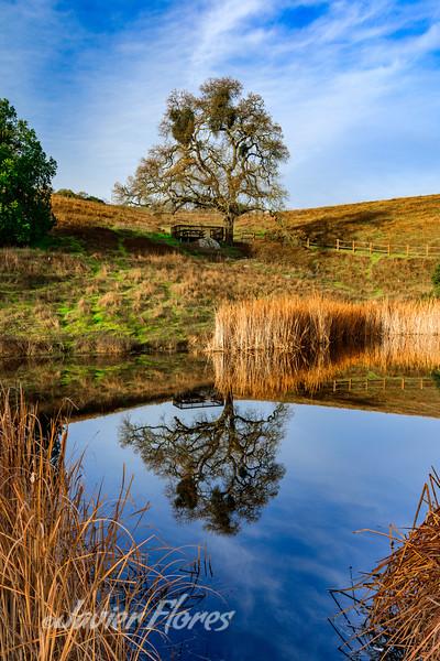 Live Oak Reflections