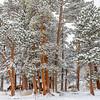 Elk in the Pines