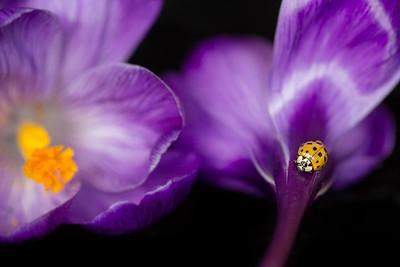 Ladybug on Crocus