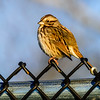 sparrow on the fence