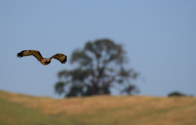 Red Tail Hawk Flies Over Marsh Creek