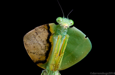 Hooded Mantis, genus Choeradodis, from Belize.