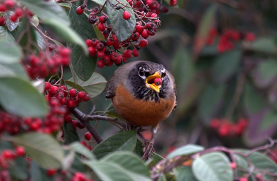 American Robin Enjoys a Berry