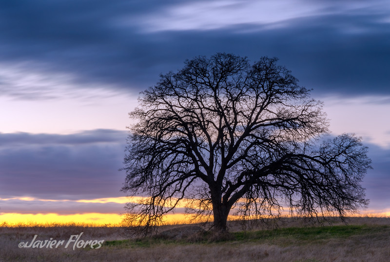 Oaktree silhouette at sunset in the California Central Valley