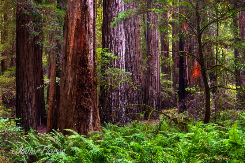 Ferns and redwoods