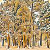 Ponderosa Pines in Snow