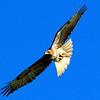 Red Tail Hawk Soaring