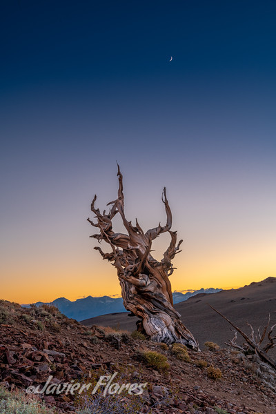 Sunset at Bristlecone Pine Forest