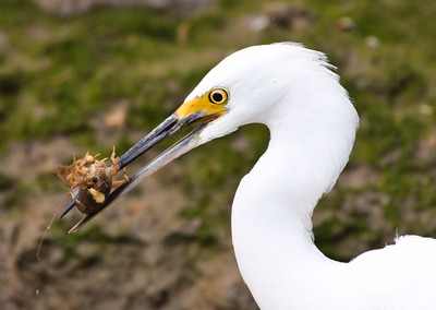 Snowy Egret Eating