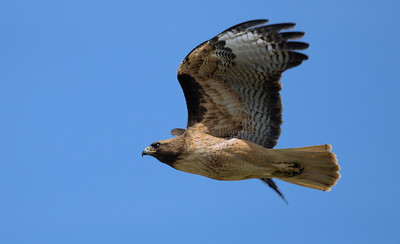 Red Tail Hawk on the Move