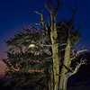 Moon Rise at Bristlecone Pine tree