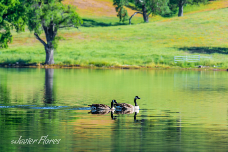 Geese swimming in lake