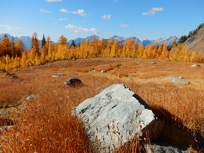 Larch Trees in the Cascade Mountains