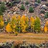 Aspen trees grove