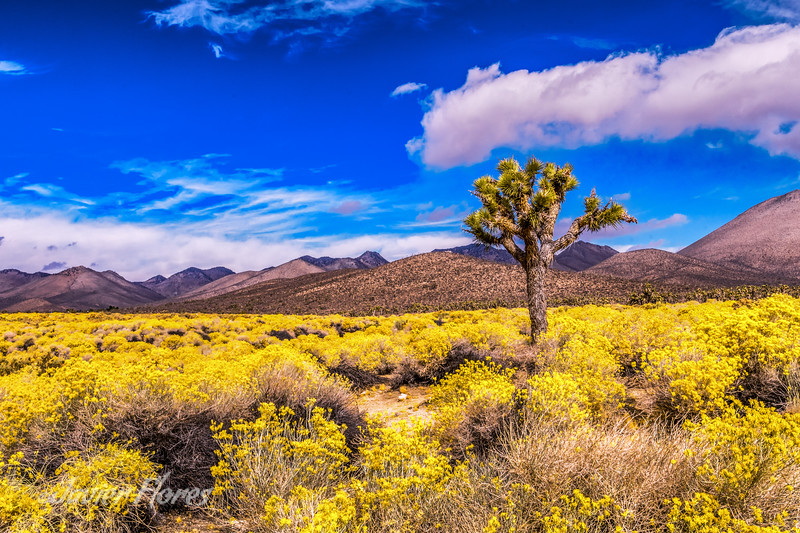 Yellow Fields with Joshua Tree