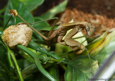 Chinese mantis female (Tenodera sinensis) with ootheca (egg case) from Iowa.