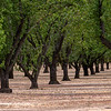 Yolo County Almond Orchards