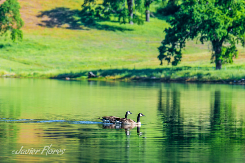 Canadian Geese in Lake
