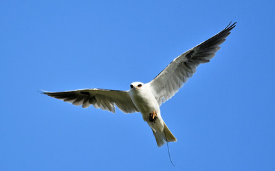White Tail Kite Carrying a Rat