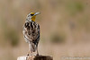 Western Meadowlark Keeps an Eye  On Me