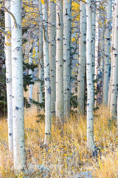 Aspen Grove with fall colors