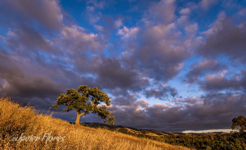 Lone Oak Tree at Sunset