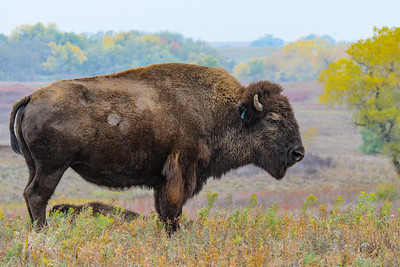Bison at Maxwell, nice Fall colors in the background