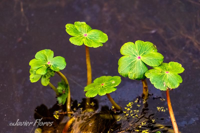 Floating Pond Plants