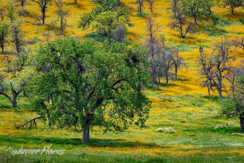 Oak Tree with wildflowers