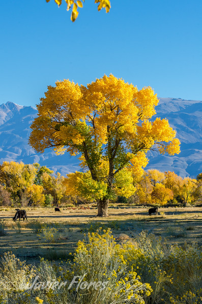 Yellow tree, Bishop CA