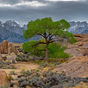 Alabama Hills Lone Cottonwood