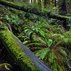 Ferns and Fallen Redwoods