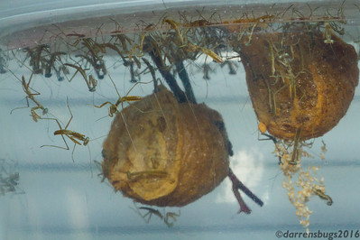 Chinese praying mantis nymphs, Tenodera sinensis, hatching out of egg cases (oothecae).