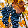 Grapes in the Fall